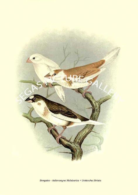 Fine art print of the Bengalee - Aidemosyne Malabarica + Uroloncha Striata by the Artist Frederick William Frohawk (1899)
